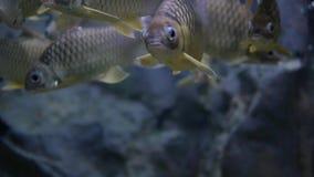 Los pescados de Schwanenfeld's Barb que nadan en el agua potable almacen de metraje de vídeo