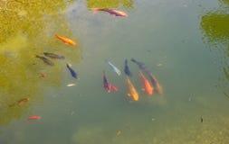 Los pescados decorativos coloridos flotan en una charca artificial Fotografía de archivo libre de regalías