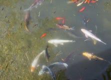 Los pescados decorativos coloridos flotan en una charca artificial Fotos de archivo libres de regalías