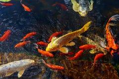 Los pescados decorativos coloridos flotan en una charca artificial Imagen de archivo libre de regalías