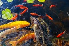 Los pescados decorativos coloridos flotan en una charca artificial, Foto de archivo libre de regalías