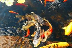 Los pescados decorativos coloridos flotan en una charca artificial, visión desde arriba Foto de archivo libre de regalías