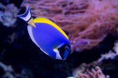 Los pescados del arrecife de coral se cierran para arriba Fotografía de archivo libre de regalías