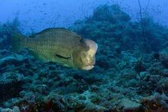 Los pescados del enchufe de la cabeza del topetón se cierran encima del retrato Imagen de archivo