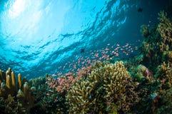 Los pescados del escolar bunaken la foto subacuática de Sulawesi Indonesia Fotos de archivo libres de regalías