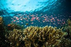 Los pescados del escolar bunaken la foto subacuática de Sulawesi Indonesia Imagen de archivo
