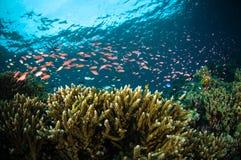 Los pescados del escolar bunaken Sulawesi Indonesia subacuática Fotografía de archivo
