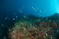 Los pescados del filón están nadando sobre los arrecifes de coral en Gorontalo, Indonesia foto de archivo