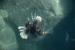 Los pescados del león acercan a un coral Imagen de archivo