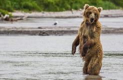 Los pescados del oso marrón Imagen de archivo