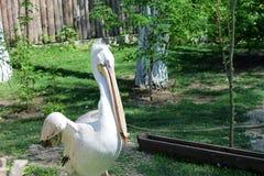 Los pescados del pelícano del pájaro almuerzan en el parque zoológico por día y el agua potable Imagenes de archivo