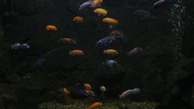 Los pescados exóticos nadan en acuario detrás del vidrio metrajes