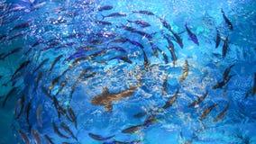Los pescados grandes están circundando en la piscina Imagenes de archivo