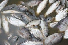 Los pescados murieron porque las aguas residuales Foto de archivo