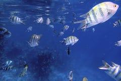 Los pescados que nadan riegan con poca agua en arrecifes de coral en el mar azul fotos de archivo