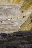 Los pescados que saltan encima de las caídas Imágenes de archivo libres de regalías