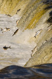 Los pescados que saltan encima de las caídas Fotos de archivo libres de regalías