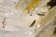 Los pescados que saltan encima de las caídas Imagenes de archivo