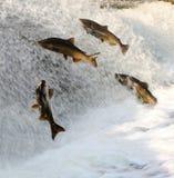 Los pescados que saltan encima del agua de precipitación para frezar imagen de archivo