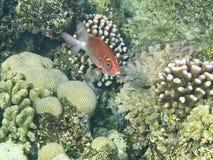 Los pescados rojos Fotos de archivo libres de regalías