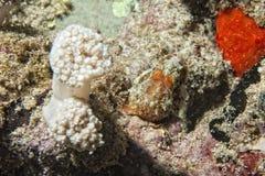 Los pescados rojos de la rana se cierran encima del retrato Fotografía de archivo libre de regalías