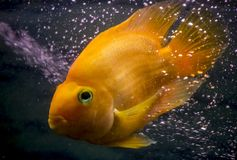 Los pescados rojos del acuario del loro en las burbujas se nublan imagen de archivo libre de regalías