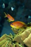 Los pescados tropicales anaranjados se cierran para arriba. Fotografía de archivo libre de regalías