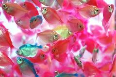 Los pescados tropicales coloridos translúcidos Imágenes de archivo libres de regalías