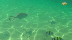 Los pescados tropicales comen rebanadas del plátano almacen de video