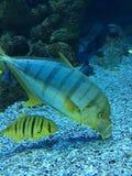 Los pescados tropicales del acuario se cierran para arriba imagen de archivo