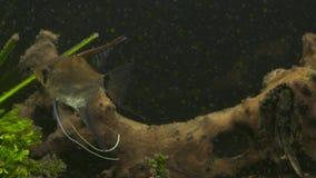 Los pescados tropicales se encuentran en acuario azul de la agua de mar del arrecife de coral Paraíso subacuático almacen de video