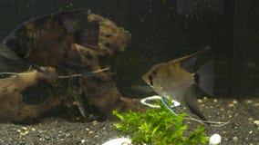 Los pescados tropicales se encuentran en acuario azul de la agua de mar del arrecife de coral Paraíso subacuático metrajes