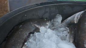 Los pescados vivos frescos de un mar empapan en hielo metrajes