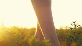 Los pies masculinos van descalzo a la hierba suave a través del sol durante puesta del sol asombrosa con efectos de la llamarada  almacen de metraje de vídeo