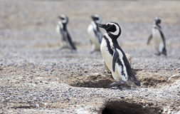 Los pingüinos acercan a jerarquías Imágenes de archivo libres de regalías