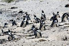 Los pingüinos africanos de la cría en los cantos rodados varan, cabo Fotografía de archivo