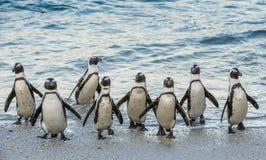 Los pingüinos africanos salen fuera del océano en la playa arenosa Fotografía de archivo
