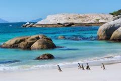 Los pingüinos caminan en la playa soleada Fotografía de archivo libre de regalías