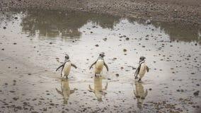 Los pingüinos caminan a través del fango y de las rocas foto de archivo
