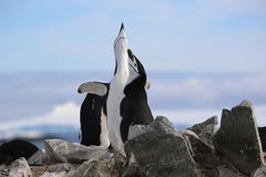 Los pingüinos de Chinstrap cantan en la Antártida Fotografía de archivo