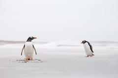 Los pingüinos de Gentoo en una arena blanca abandonada varan Falkland Islands Fotos de archivo libres de regalías