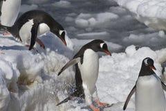 Los pingüinos de Gentoo son salto de la masa de hielo flotante de hielo grande a helar Imágenes de archivo libres de regalías