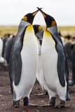 Pingüinos de rey de los pares Fotografía de archivo