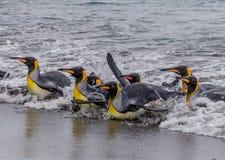 Los pingüinos de rey mojados, que nadan resbalan dentro de orilla después de pescar Foto de archivo