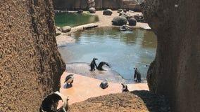 Los pingüinos gozan del sol del verano en el parque zoológico metrajes