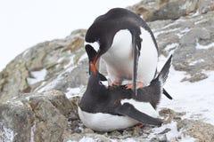 Los pingüinos masculinos y femeninos de Gentoo copulate Foto de archivo