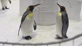 Los pingüinos reales divertidos comunican en vídeo de la cantidad de la acción de la nieve almacen de video