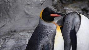 Los pingüinos sacuden su cabeza almacen de metraje de vídeo