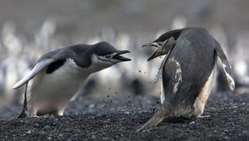 Los pingüinos del antártico del conflicto Imagen de archivo libre de regalías