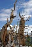 Los pinos de bristlecone Fotos de archivo